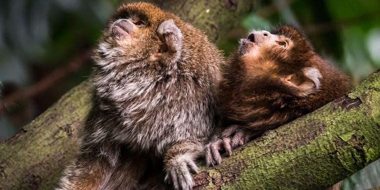 Two Titi Monkeys sitting in a tree looking upwards