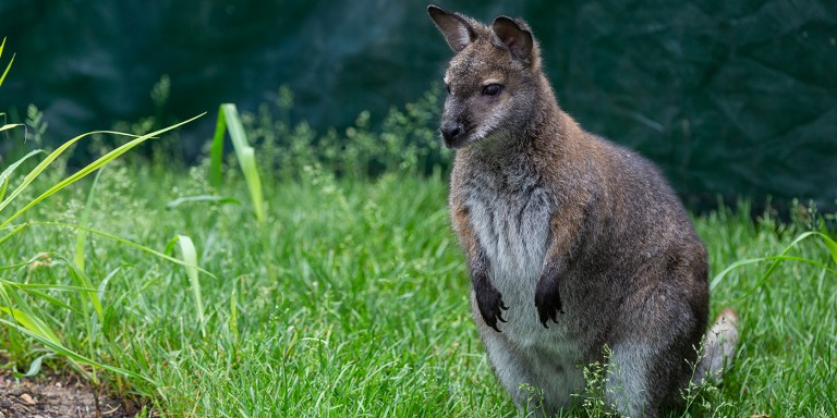 A small Bennett's wallaby, with brown fur, short arms and a long tail, standing in tall grass