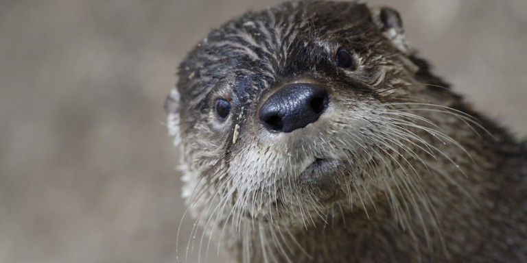 american river otter face