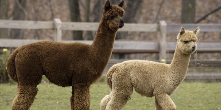 alpacas at the kid's farm