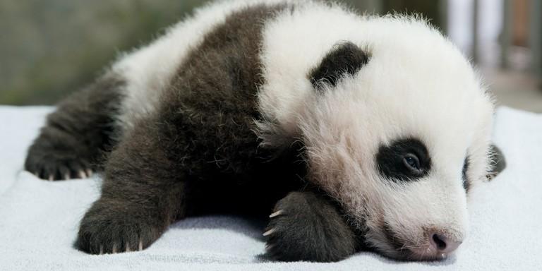 a giant panda cub named Xiao Qi Ji lies sleepily on a white table