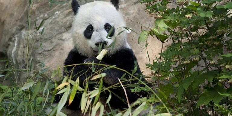 panda munching on bamboo