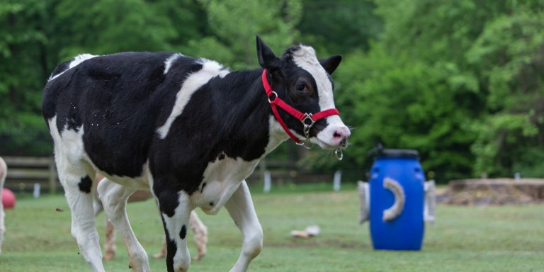 Holstein calf Magnolia frolics at the Kids' Farm.