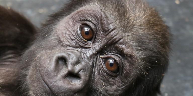 Western lowland gorilla infant Moke at 9 months old.