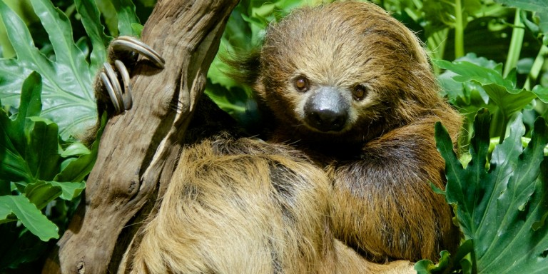 A southern two-toed sloth with long, coarse brown fur, a small snout, small eyes, long limbs and curved claws perches in a tree and holds onto a branch