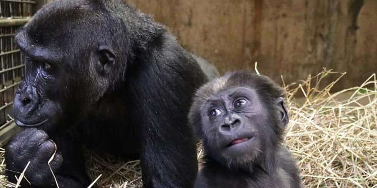 Gorillas Kibibi and Moke