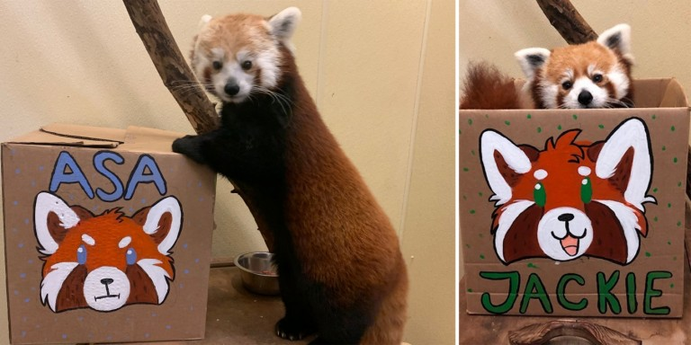 Asia Trail's talented volunteers painted some lovely enrichment boxes for Asa (left) and Jackie (right) to open in honor of Red Panda Day.