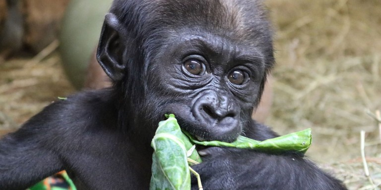 3-month-old western lowland gorilla Moke eating leafy greens