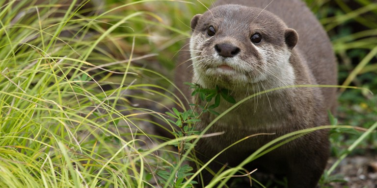 An Asian small-clawed otter walking in the grass. It's a weasel-like animal with small ears, whiskers, short lets, sleek, coarse, wet fur, and a long, thick tail.