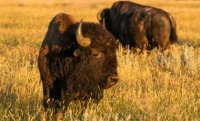 Two bison -- large mammals with thick fur coats, rounded sharp horns, big heads and large shoulder humps -- walk through tall grass at sunset