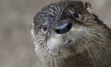 A close-up of a North American river otter's face