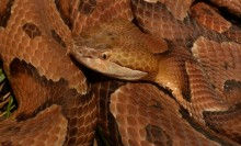 A copper colored snake with dark bands along its body, called a northern copperhead