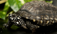 A small turtle with dark brown and white-spotted, scaly skin and a dome-shaped shell stands on a table with greenery in the background.