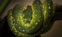 A green snake with bright yellow spots, called a green tree python, wrapped around a tree branch