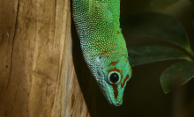 A large, bright green lizard (called a Madgascar giant day gecko) perched on the side of a tree, looking toward the ground