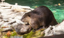 A beaver with thick, wet fur, long claws and whiskers stands in shallow water and rocks