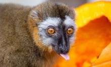 A small, rust-colored lemur with thick fur crouches next to a pumpkin and sticks its tongue out