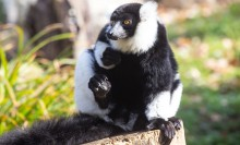 A small black-and-white ruffed lemur with thick fur, a mane around its face, long fingers and a long tail sits perched on a log