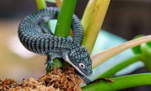 A small lizard, called an alligator lizard, with blue-green scales, a long, thick tail and short arms and legs. It is wrapped around a green plant
