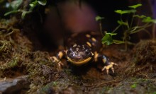 A small salamander, called a barred tiger salamander, with smooth, dark, yellow-spotted skin spotted. The salamander stands on a wet, mossy rock.