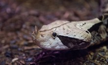 A snake, called a Gaboon viper, with a large body covered in white and black scales and two small horns extending from the tip of its snout.
