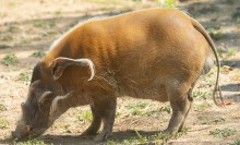 A red river hog with a long, knobbly snout, short legs, a slender tail and ears with long tufts of hair, grazes in the grass and dirt