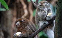 Two white-eared titi monkeys (small monkeys with thick fur, small ears and long tails) perch on a branch eating fruit held in their hands