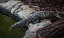A large reptile, called a crocodile monitor, with long, curved claws, a lean body and scaly, spotted skin, climbs over rocks that line a pond and sticks its forked tongue out toward the water