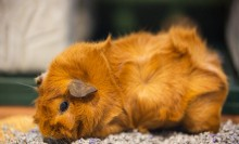 A guinea pig about the size of a large potato with soft fur and floppy ears