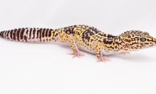 A small reptile, called an Iranian gecko, with short limbs, a thick striped tail and mottled brown and yellow patterning