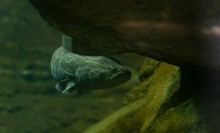 A northern snakehead fish swimming through water underneath a rock ledge