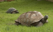 Two ginormous turtles in the grass. The shells are quite tall and their long necks are peeking out