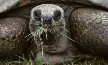 aldabra tortoise eating grass