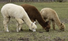 three alpacas grazing
