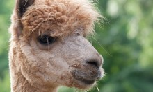 A close-up of a beige alpaca's face