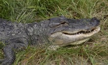 American alligator in the grass