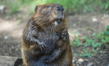 American Beaver green and brown background
