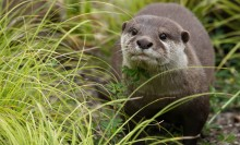 Long, weasel-like animal in the grass with darkish fur above and lighter below.