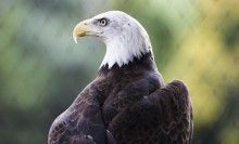 Bald Eagle leaf background