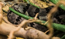 A gray snake with black-blotched stripes along its body, called a banded rock rattlesnake, rests with its head on its body in sand. It is nestled between branches and the arms of a green, cactus-looking plant