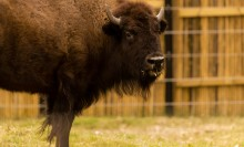 An American bison standing in the grass in front of a wooden fence