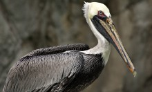 A brown pelican, with a gray-brown body, white neck and head, and long bill