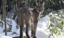 Medium-sized cat with long ears and legs and gray fur standing in the snow