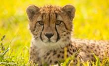 cheetah sitting in the grass