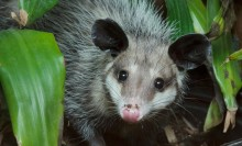 A common opossum crawling in the dirt surrounded by greenery