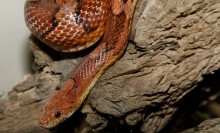 A red-orange snake with dark red spots, called a corn snake, moving over a piece of wood