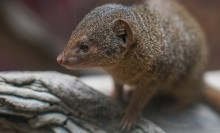 A small, furry brown animal, called a dwarf mongoose, standing on a log
