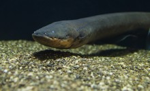 An electric eel swimming in the water over sand against a black backdrop