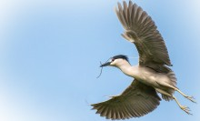 a black-crowned night heron flies with wings extended across a blue sky