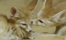 tawny foxes with impossibly large ears